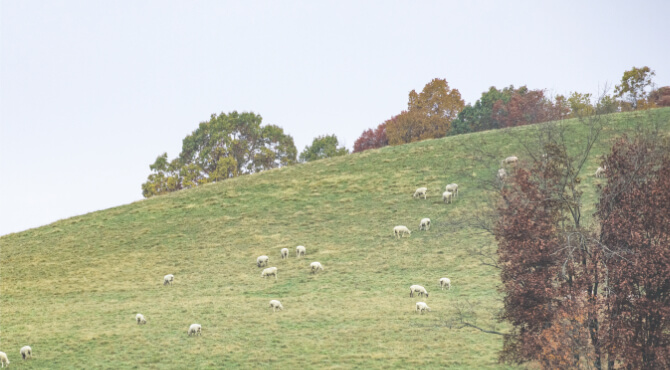 Lambs on Hill eating